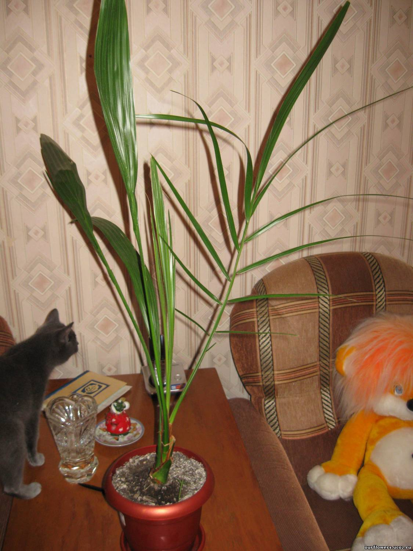 Фото комнатных цветов пальмовидных
