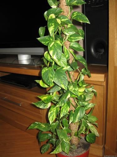Вьющиеся растения слишком хорошо подходят для создания декоративных зеленоватых композиций.  Для сего вазон с хорошей...