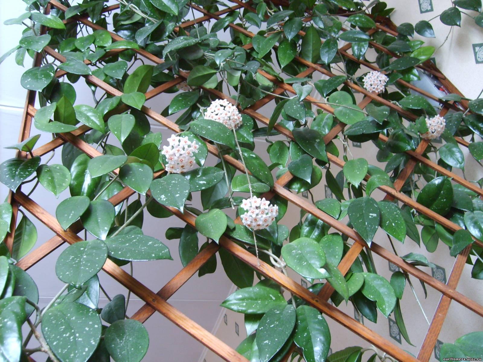 плетущиеся цветы комнатные