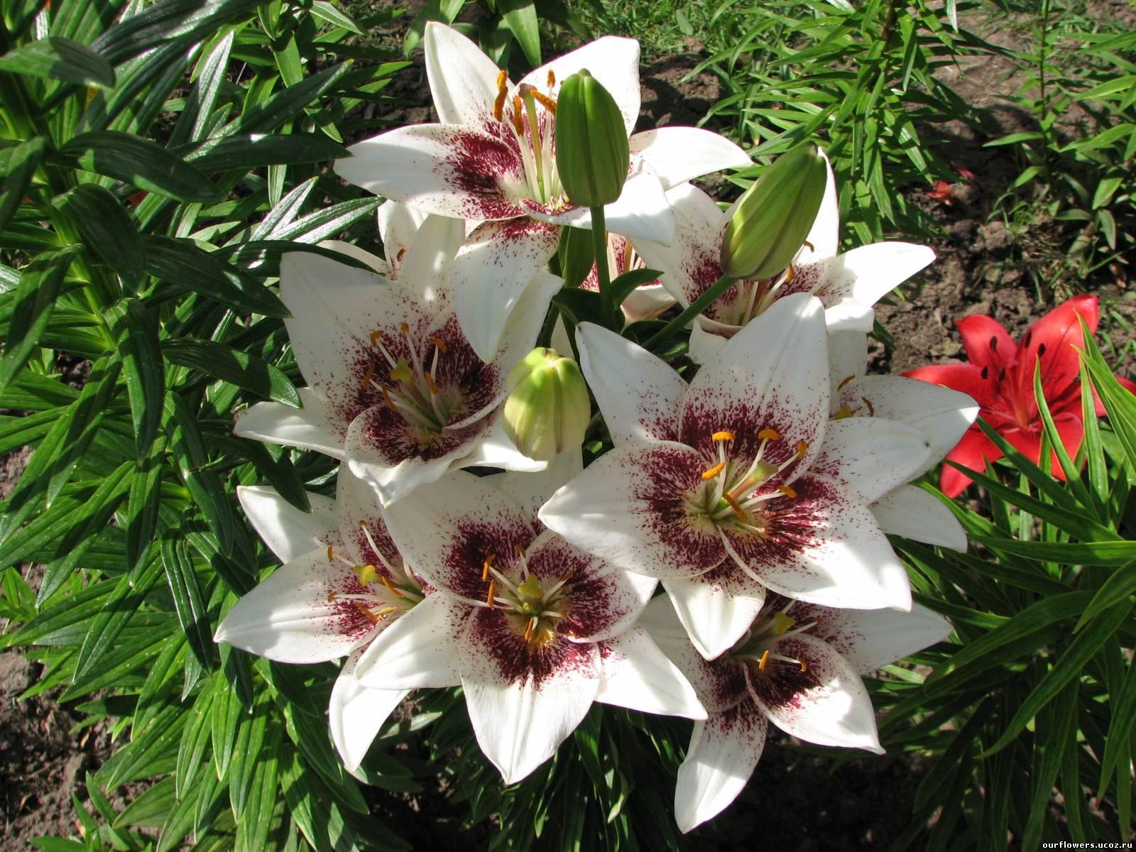Цветы лилии фото и уход