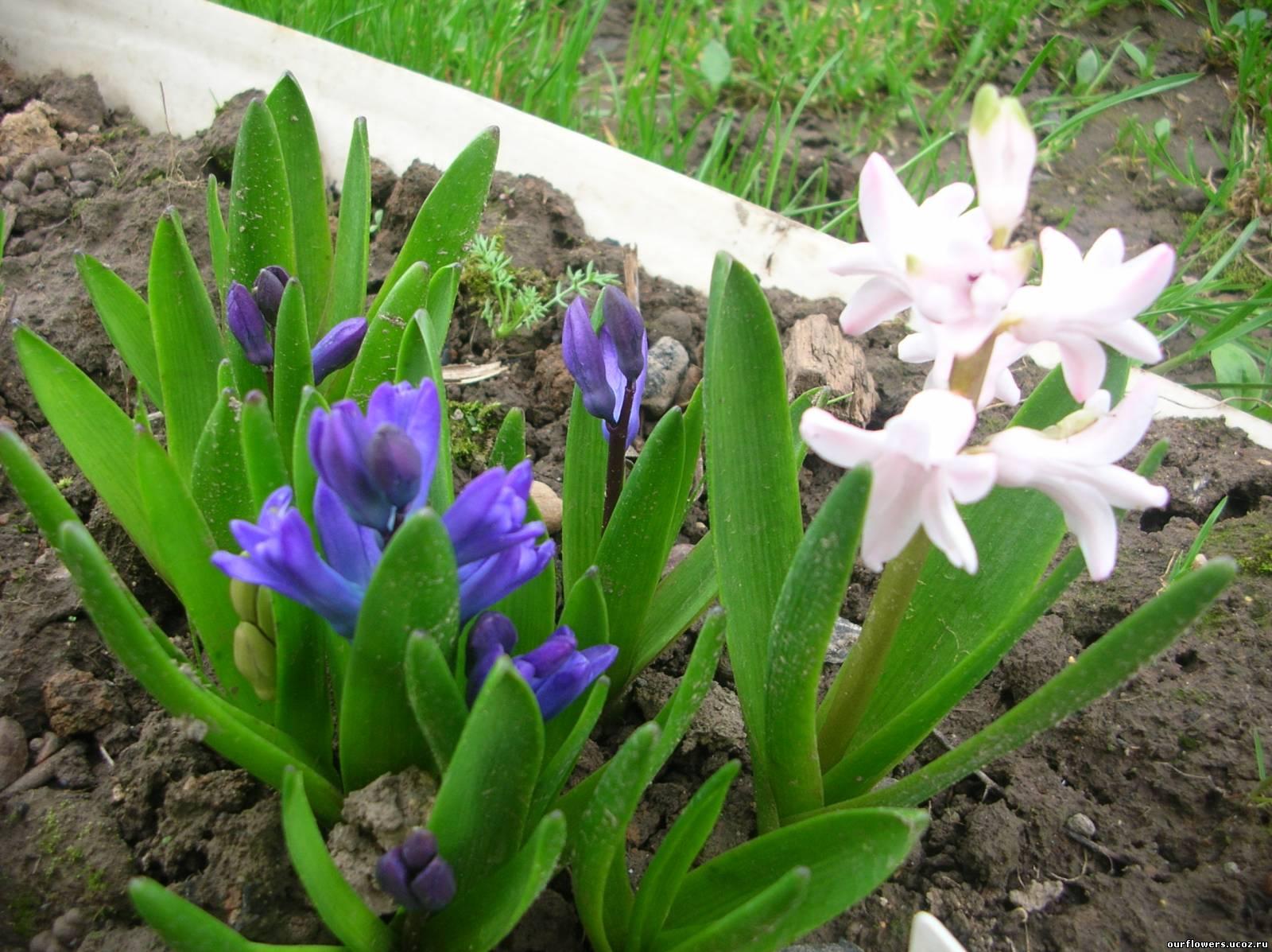 Каталог садовых цветов луковичных