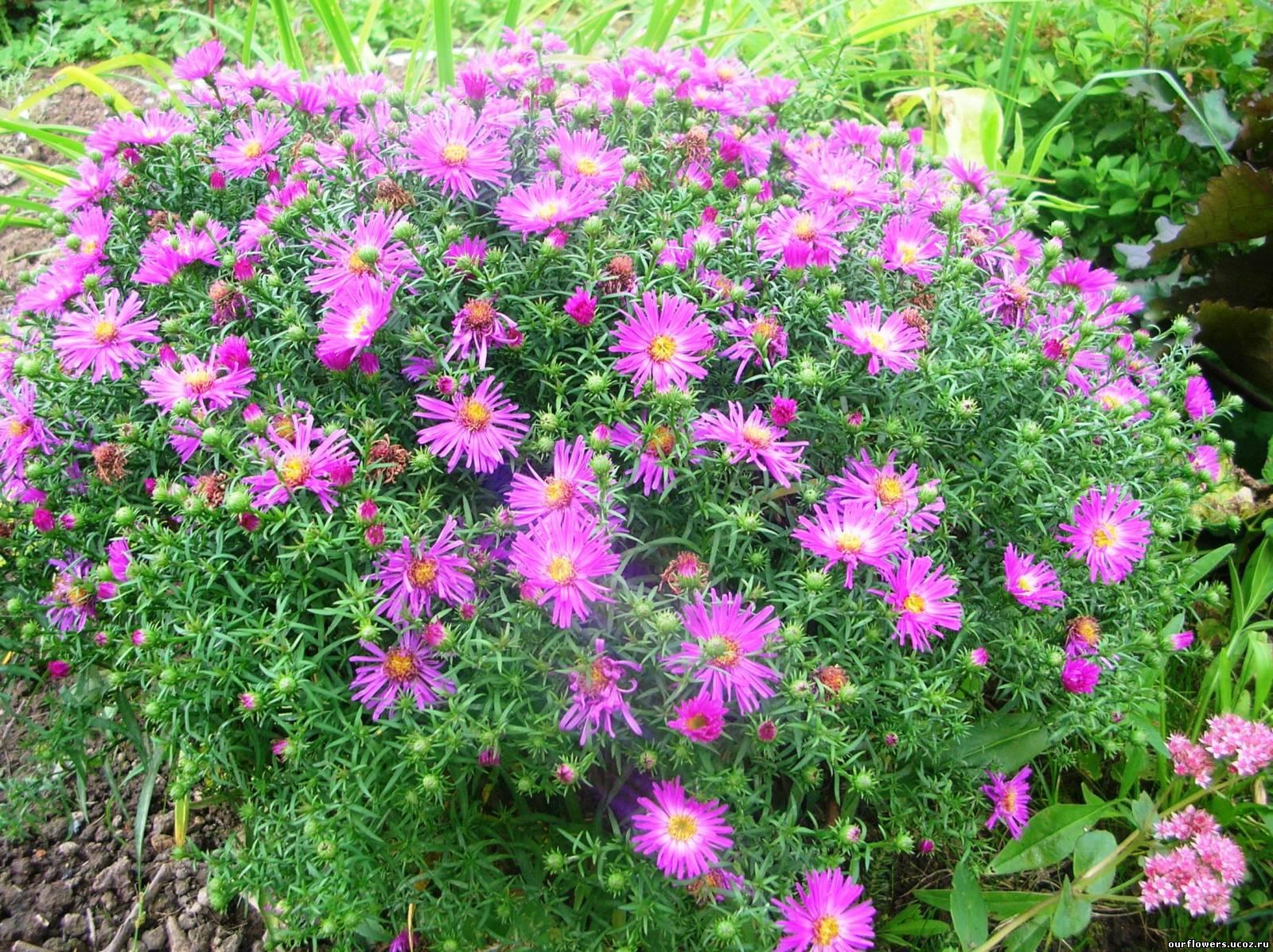 Садовые цветы подмосковья фото с названием