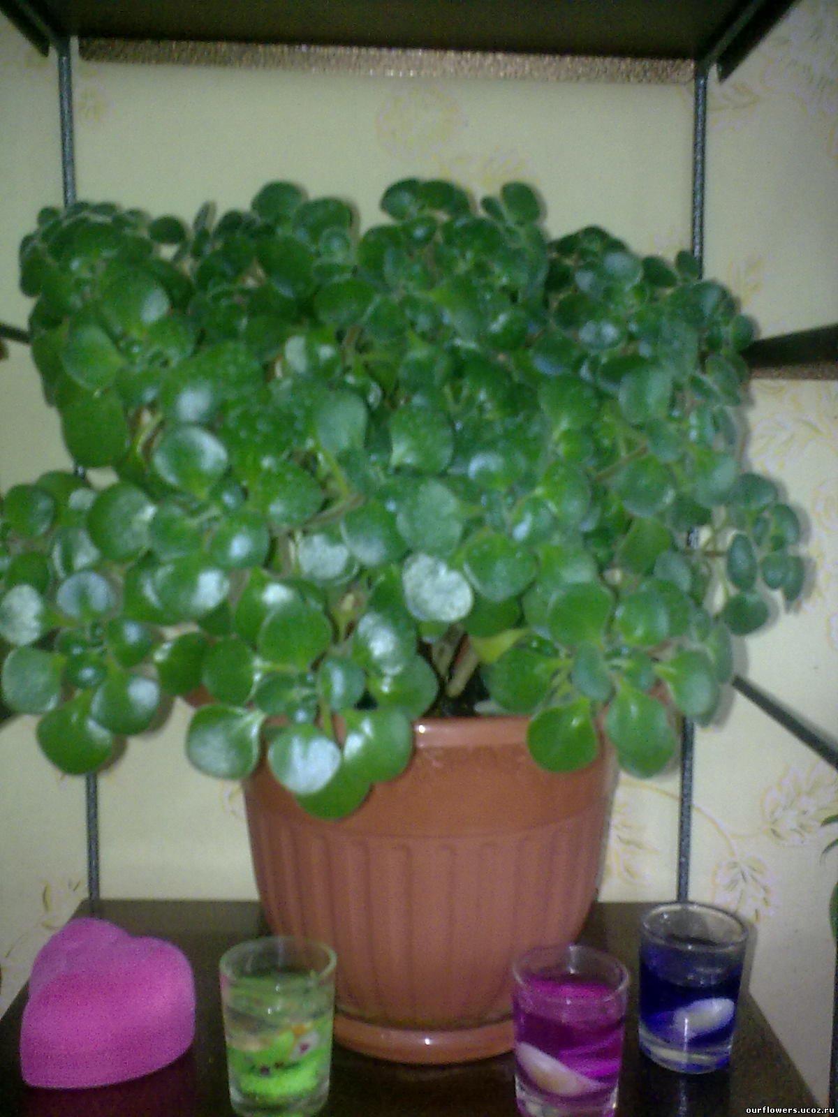 Растение счастья