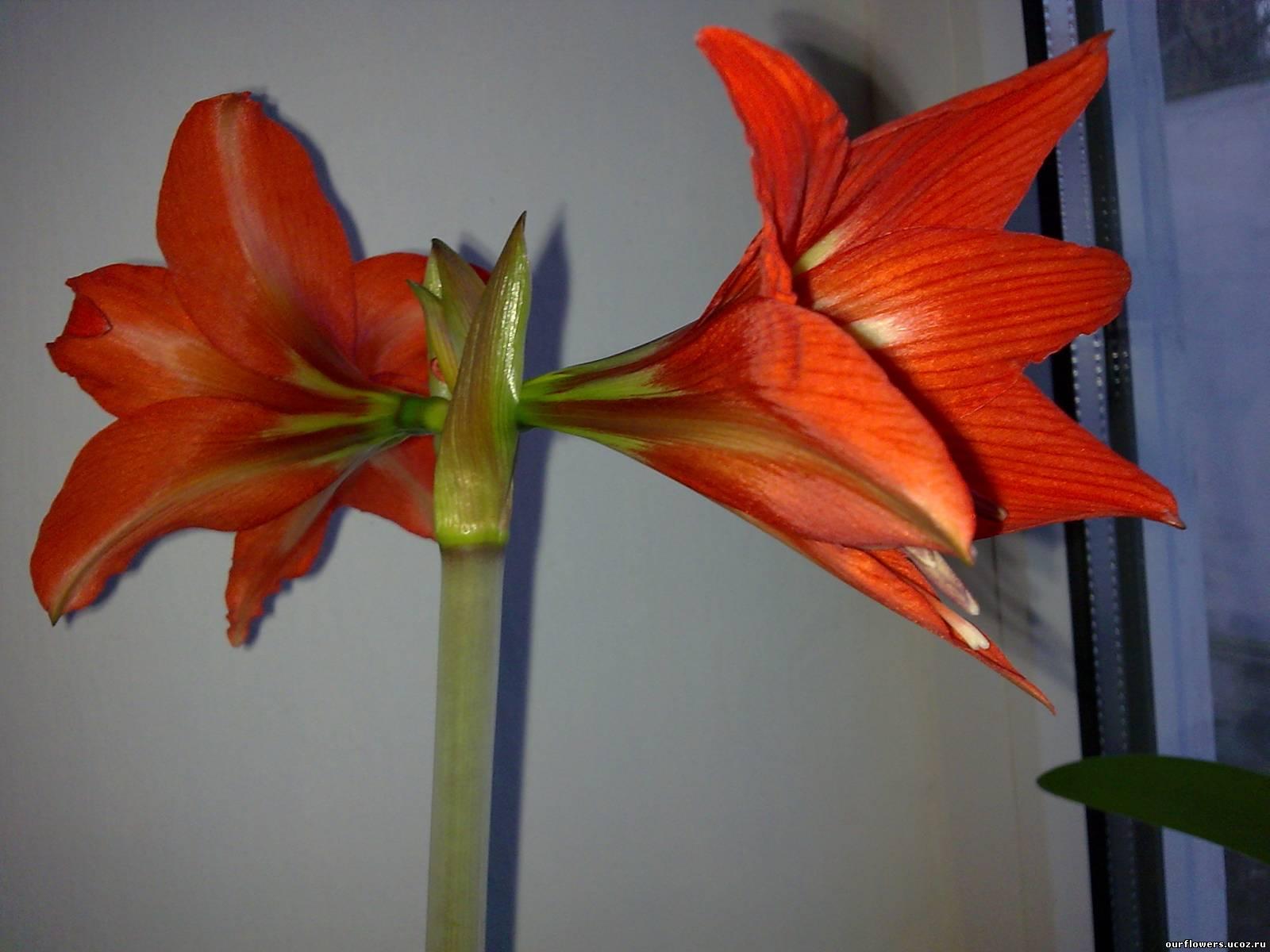 Каталог фото клубневых цветов комнатных